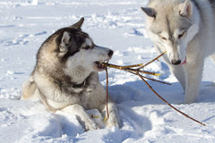 2 лайки на снеге грызя на ветви дерева Стоковое Фото