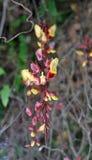 Акантовые Mysorensis Thunbergia стоковая фотография