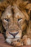 акация прячет солнце тени портрета полдня льва сиротливое Конец-вверх Уганда 5 2009 в марше maasai танцульки Африки ратников села Стоковые Изображения