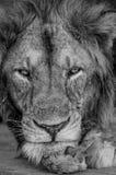 акация прячет солнце тени портрета полдня льва сиротливое Конец-вверх Уганда 5 2009 в марше maasai танцульки Африки ратников села Стоковые Фотографии RF