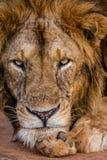 акация прячет солнце тени портрета полдня льва сиротливое Конец-вверх Уганда 5 2009 в марше maasai танцульки Африки ратников села Стоковые Изображения RF