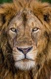акация прячет солнце тени портрета полдня льва сиротливое Конец-вверх Уганда 5 2009 в марше maasai танцульки Африки ратников села Стоковое фото RF
