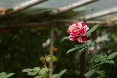 акварель близкого сада влияния розовая поднимающая вверх Стоковые Изображения RF