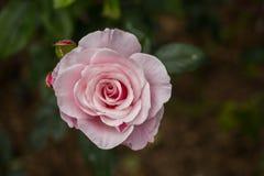 акварель близкого сада влияния розовая поднимающая вверх Стоковая Фотография