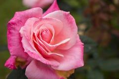 акварель близкого сада влияния розовая поднимающая вверх Стоковая Фотография RF