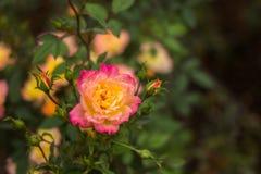 акварель близкого сада влияния розовая поднимающая вверх Стоковое Изображение RF