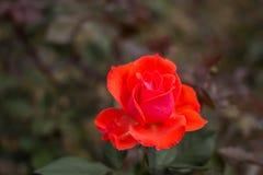 акварель близкого сада влияния розовая поднимающая вверх Стоковые Фото