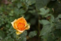 акварель близкого сада влияния розовая поднимающая вверх Стоковое фото RF