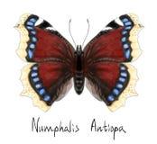 акварель numphalis бабочки antiopa имитационная Стоковая Фотография RF