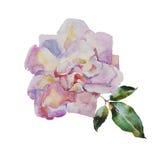 Акварель бледная - роза пинка с иллюстрацией оригинала листьев Стоковые Фото