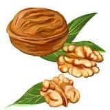 Акварель вектора грецких орехов покрашенная иллюстрацией Стоковое Изображение RF