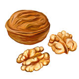 Акварель вектора грецких орехов покрашенная иллюстрацией Стоковые Фотографии RF