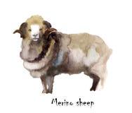 Акварель овец Merino на белой предпосылке милая нарисованная иллюстрация руки fairyland Творческие животноводческие фермы Предпос Стоковые Изображения RF
