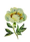 Акварель пиона иллюстрации ботаники белая Стоковые Изображения RF