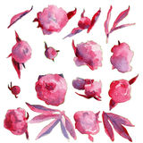 Акварель рисуя розовые цветки пиона Стоковая Фотография RF