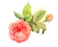 Акварель роз цветет покрашенная рука иллюстрации Стоковые Изображения