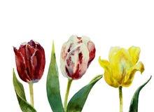 Акварель 3 тюльпанов Стоковые Фото