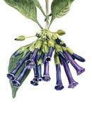 Акварель цветет Iochroma Стоковое Изображение