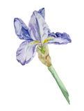 Акварель цветка радужки Стоковые Фото