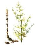 Акварель чертежа рода сосудистых растений Стоковое Изображение RF