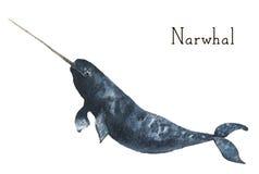 Акварель narwhal Иллюстрация кита изолированная на белой предпосылке Для дизайна, печатей или предпосылки Стоковое Изображение RF