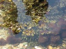 Аквариумные растениа в прибрежной воде Стоковые Фото