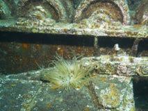 аквариум ветреницы отсутствие моря принятого одичалое Стоковое Изображение RF