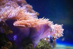 аквариум ветреницы отсутствие моря принятого одичалое Стоковое фото RF
