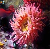 аквариум ветреницы отсутствие моря принятого одичалое Стоковые Изображения