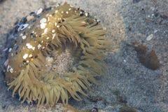 аквариум ветреницы отсутствие моря принятого одичалое Стоковые Фото
