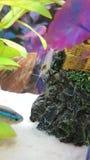 Аквариум креветки Стоковое Изображение