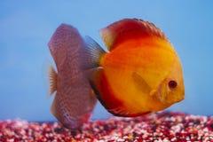 Аквариум - рыба аквариума диска пресноводная Стоковая Фотография