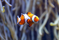 Аквариум рыб клоуна Стоковая Фотография