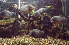 Аквариум с много piranhas Стоковая Фотография