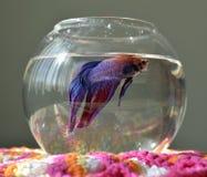 Аквариум с рыбами betta Стоковые Фотографии RF