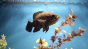 аквариум цветастый Красивое заплывание рыб в домашнем аквариуме Заплывы ocellatus Astronotus рыб предназначенные для подростков а видеоматериал