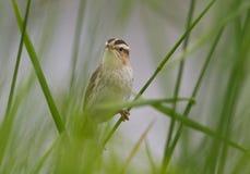 Акватическая певчая птица поя Стоковая Фотография RF