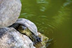 акватическая черепаха Стоковое Фото
