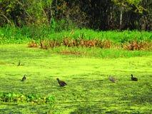 Акватические птицы идя на плавать акватическая вегетация стоковые изображения