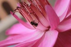 Акватический цветок Стоковая Фотография RF