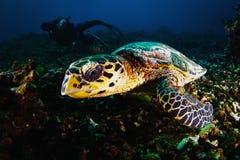 Акваланг водолаза фотографа принимает фото зеленой черепахи Стоковые Изображения RF