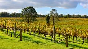 Аккуратные строки лоз виноградин-подшипника в винограднике Стоковые Фото