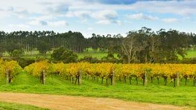 Аккуратные строки лоз виноградин-подшипника в винограднике Стоковая Фотография