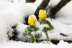 2 аконита зимы смотря прищурясь через снег Стоковое Фото