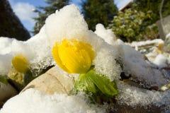 аконит зимы стоковые фотографии rf