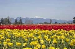 Акры и акры тюльпанов стоковая фотография
