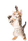 Активные красивые игры котенка Стоковые Изображения