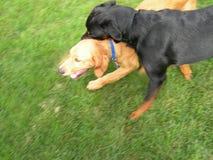 активные собаки Стоковая Фотография