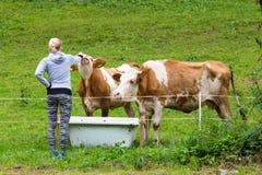 Активный sporty женский hiker наблюдающ и ласкающ pasturing коровы на луге Стоковая Фотография RF