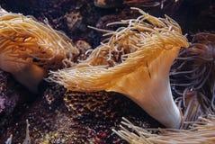 Актинии, подводный завод в аквариуме стоковые изображения